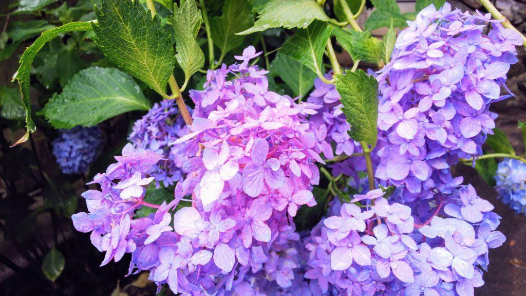 あじさい紫